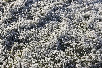 Hoar Frost on Grass