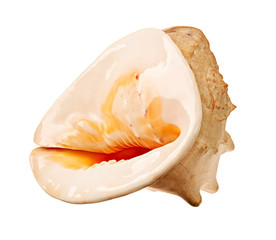 beautiful Large shell isolated on white.