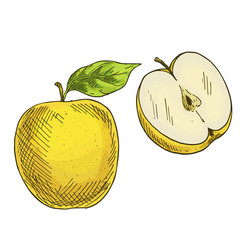 Yellow apple with leaf, half of apple. Full color realistic sketch