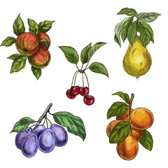 Garden fruits with leaves and branches. Cherry, apples, pear, plums, apricots.