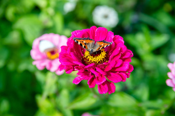 Butterfly hives sitting on a flower of zinnia