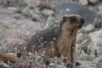 Himalayan marmot