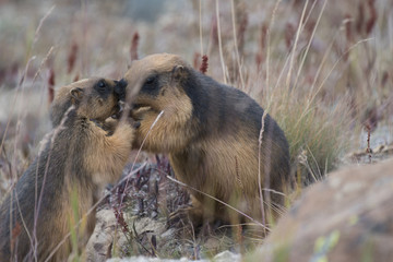 Himalayan marmot in love
