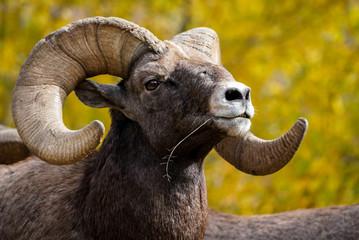 Bighorn Sheep Pose