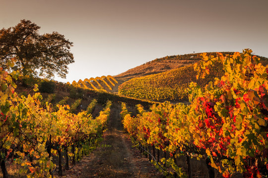 Autumn sunset in the vineyards. A view up a row of vines that are turning yellow and red. More rows of vines are in the background. A tree is off to the left. A darking sky is in the background.