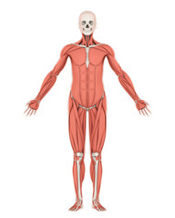 Human Skeleton and Muscle Anatomy Isolated