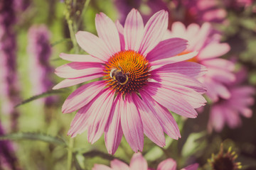 Echinacea flowers and bumble bee collecting honey close-up - macro photo