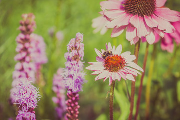 Flowers of echinacea and bumblebees gather nectar