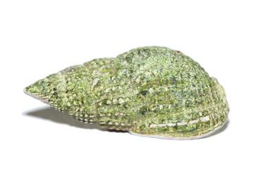 Tritia reticulata
