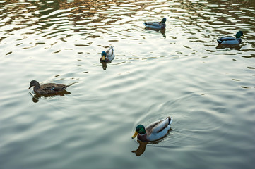 Group of wild ducks (Anas platyrhynchos) swimming along the lake on a warm autumn evening during sunset. Mallard duck on the autumn lake.