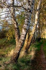 Herbstbirken im Wind