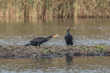 kormorane