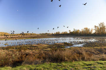 Large Flocks of Canadian Geese Resting and Staging During Their Annual Autumn Migration