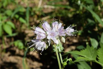 Virginia Waterleaf (Hydrophyllum virginianum) flowers, stamens and styles.