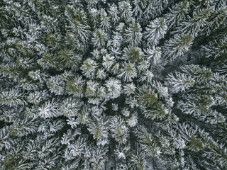 First snow in spruce tree forest. Landscape.