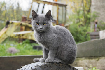 The village grey cat is waiting for the owners