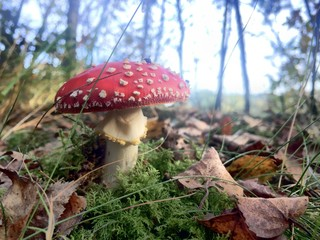 Red fly agaric mushroom or toadstool in the grass latin name is amanita muscaria toxic mushroom