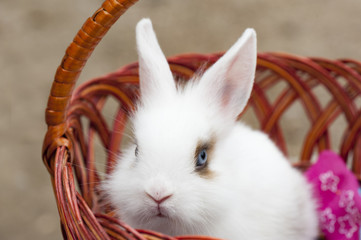 The small deorative white rabbit is sitting into the basket and looking to you. The Easter and celebration at home concept