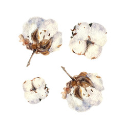 Botanical watercolor illustration of cotton balls on white background