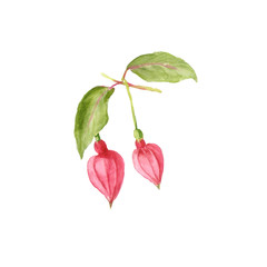Botanical watercolor illustration of Beautiful pink Fuchsia buds isolated on white background