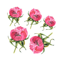 Watercolor illustration of rose bud on white background