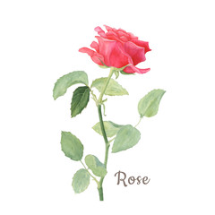 Botanical watercolor illustration of red rose isolated on white background. Could be used as decoration for web design, cosmetics design, package, textile