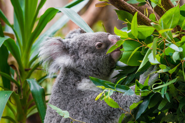Koala Bear. koala on eucalyptus tree