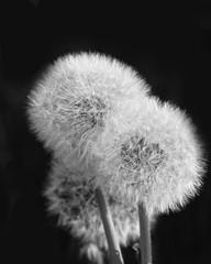Dandelion Taraxacum Officinal