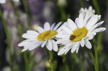 daisies with 2 ladybugs