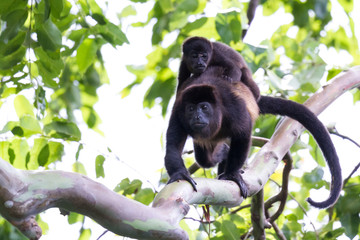 Howler Monkeys in Costa Rica