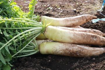 大根の収穫