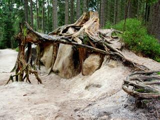 Fototapeta Niesamowity korzeń umiejscowiony na skale piaskowca w zielonym lesie - rzeźba natury obraz