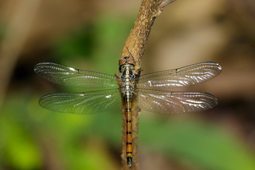 Image of indothemis carnatica dragonfly(female) on nature background. Insect Animal