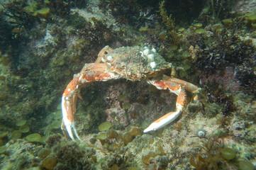 Araignée de mer (Maja brachydactyla)