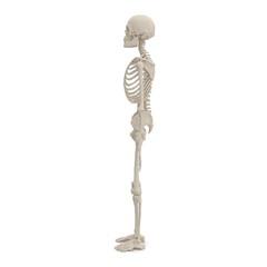 Human Male Skeleton standing pose on white. 3D illustration