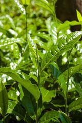 Macro tea leaf. Coonor, Nilgiri, India. Plantation.