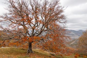 Haya en otoño. Fagus sylvatica. Hayedo Monte Brición.