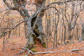 Bosque de hayas en otoño. Hayedo Monte Brición. Fagus sylvatica. Cármenes, León, España.