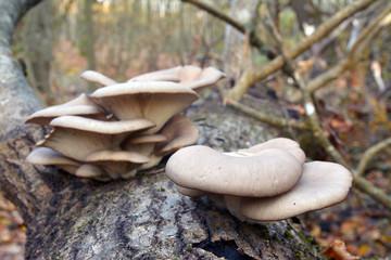 pleurotus ostreatus mushroom