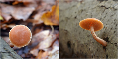 Tubaria furfuracea mushroom