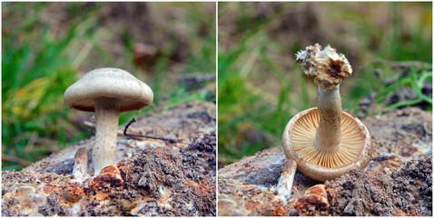 hebeloma snapizans mushroom
