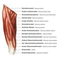 Oberschenkel Muskulatur frontal medial lateral anterior Latein Femur - Lithografie Zeichnung Vektor handgezeichnet Grafik