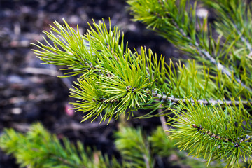 The pine green boughs in the forest