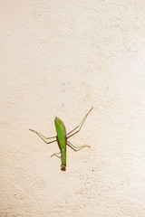 Mantis (Mantodea) on white wall in sunlight