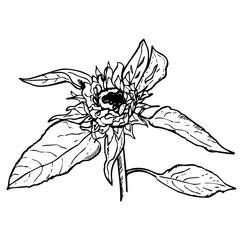 Flowering sunflower. Cartoon drawing of blooming flower. Petals, leaves closely. Beautiful sunflower for prints, clothes, posters, fabric, textile, coloring book, art calendar, patterns, scrapbook.