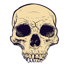 Human Skull Vector Art. Hand drawn illustration.