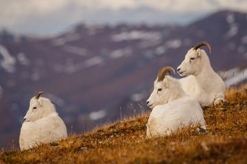 Dall sheeps in Denali NP, Alaska, US