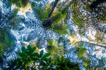 Poster Nieuw Zeeland Giant ferns in redwood forest, Rotorua, New Zealand