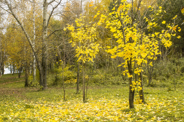Autumn park with yellow maple tree