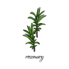 vector flat cartoon sketch style hand drawn rosemary branch with stem, leaves image. Isolated illustration on a white background. Spices , seasoning, flavorings condiments and kitchen herbs concept.